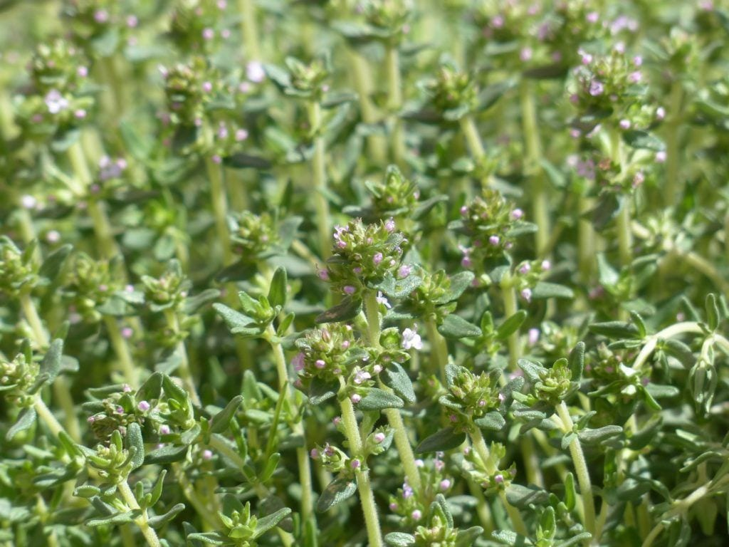 Herbs that grow well together: thyme with all herbs