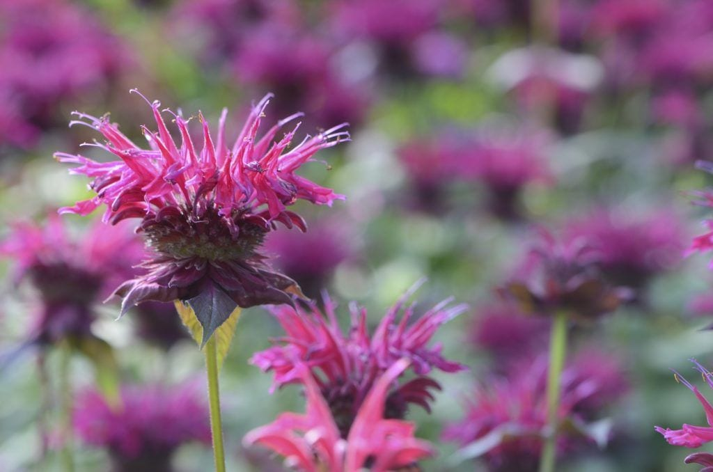 bee balm is safe for cats