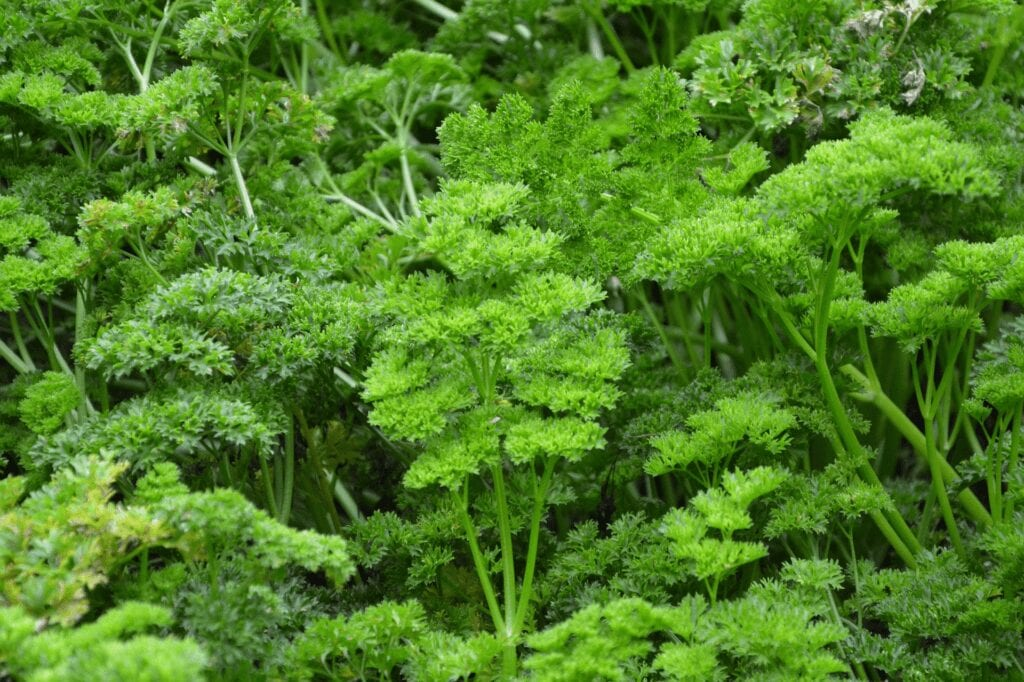 curled parsley with overcrowded stems