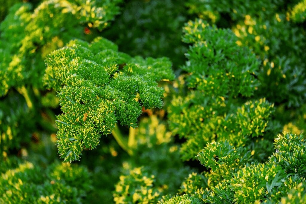 Mature parsley ready for pruning