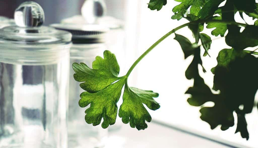 Stem of a parsley plant hanging from a pot