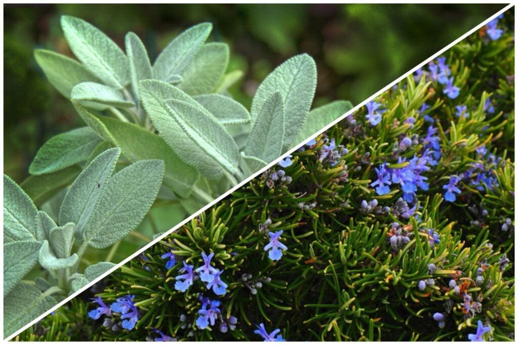 Herbs that grow well together: sage and rosemary
