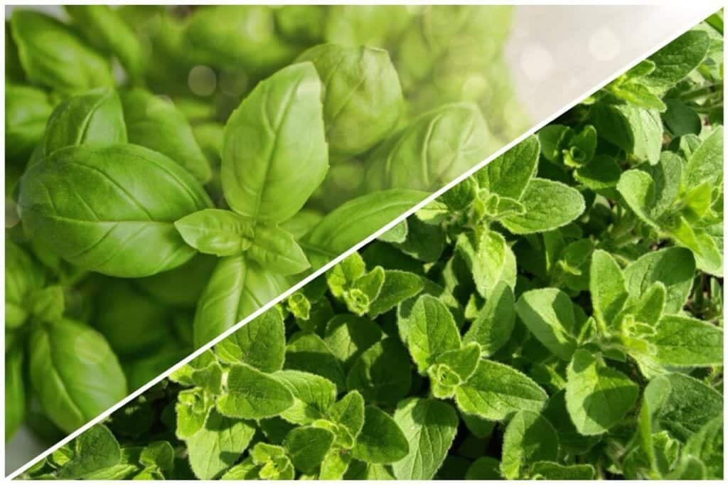 Herbs that grow well together: Mint and Stinging Nettle