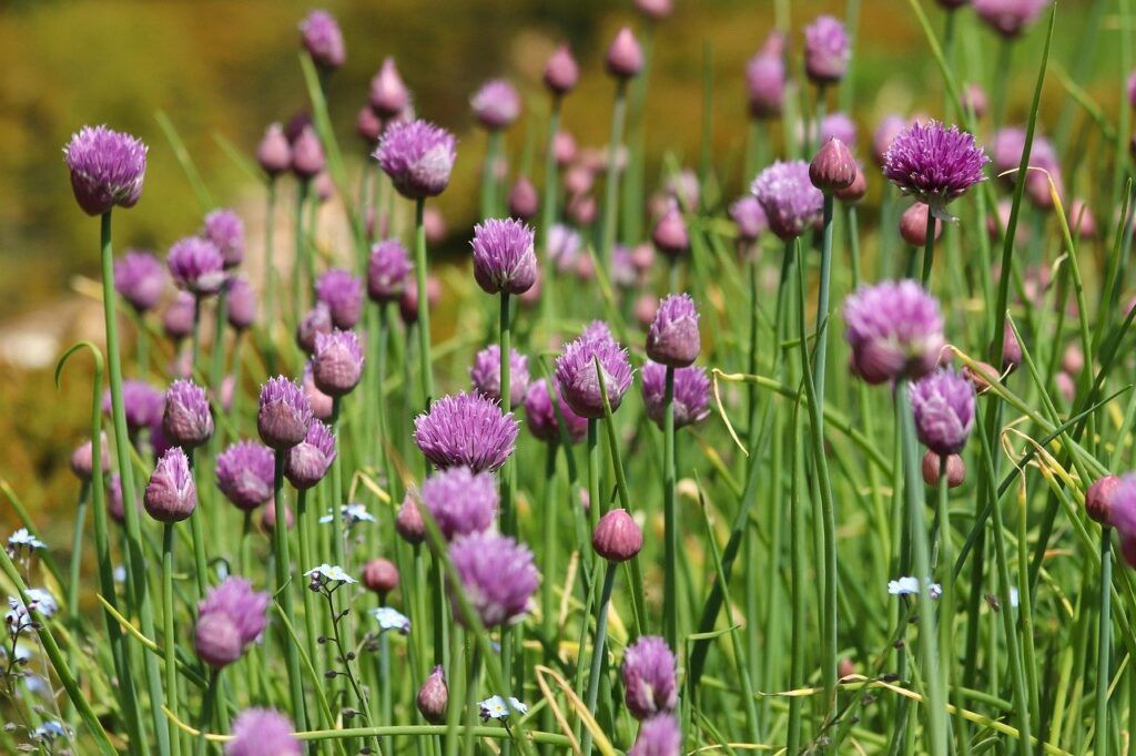 chives herb