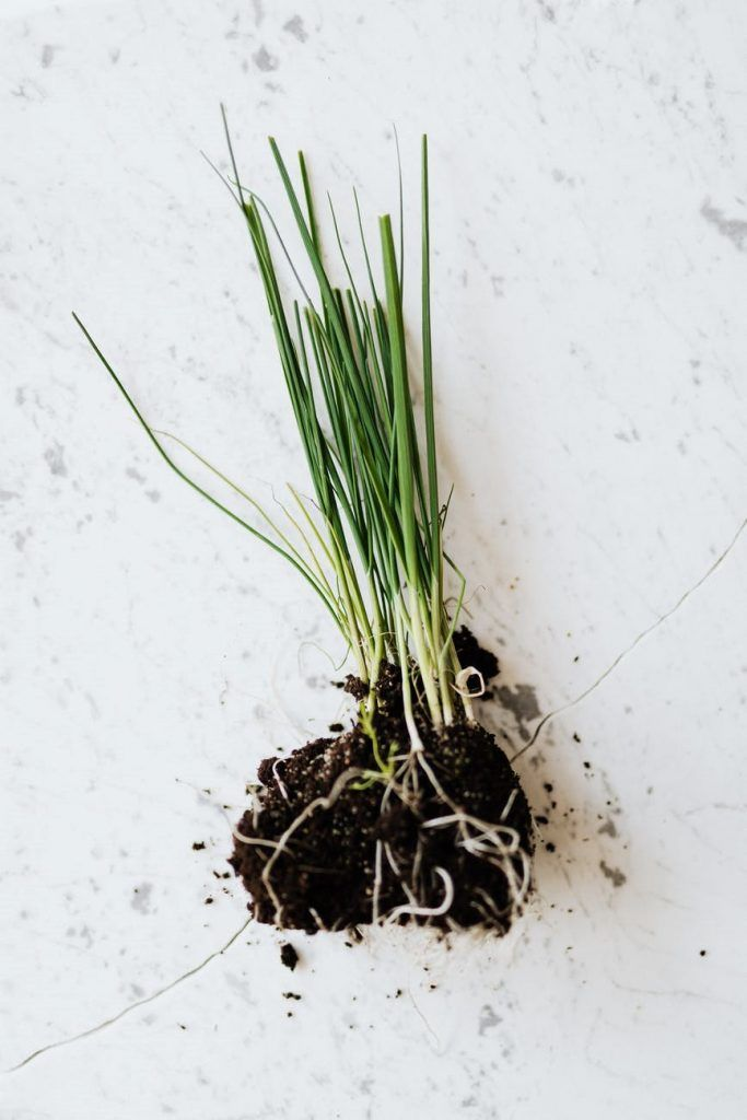 Growing Chives from Seeds Indoors