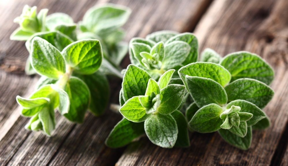 Oregano plants On a wooden background