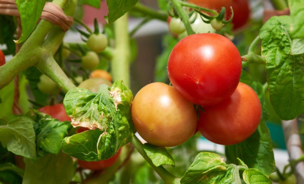How to grow tomatoes indoors: ripe fresh tomatoes growing on the vine