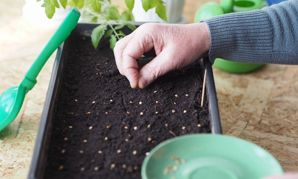 How to grow tomatoes indoors: planting tomato seeds