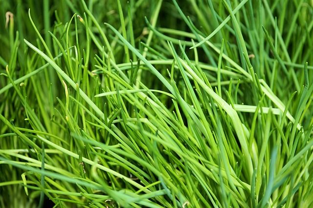 How to grow chives from seeds