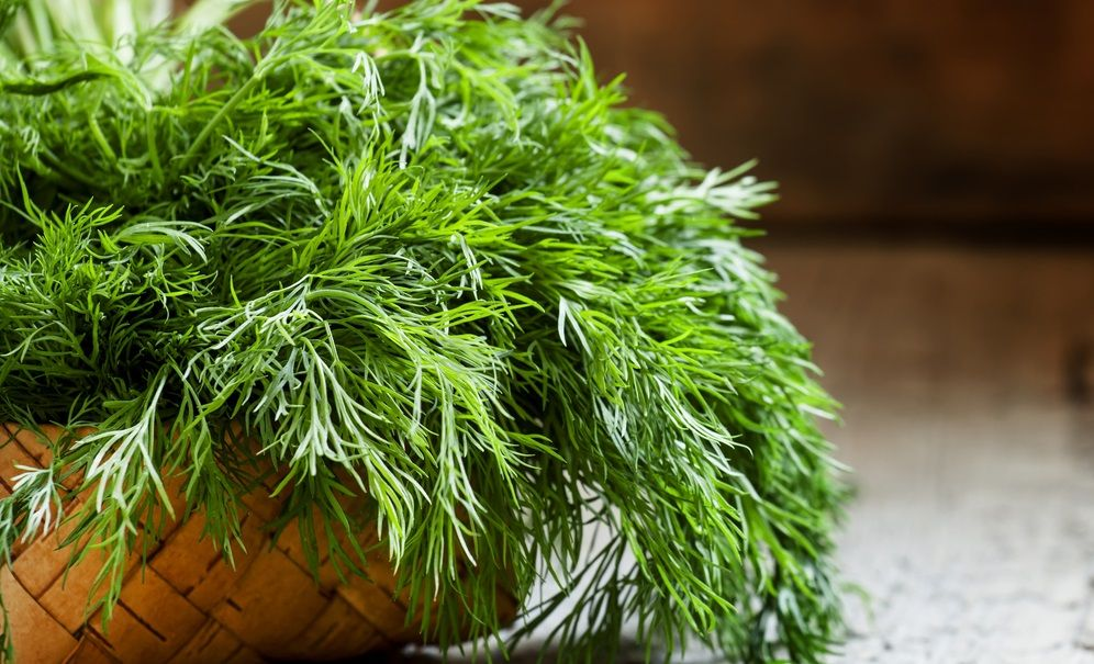 dill from the garden on the old wooden table