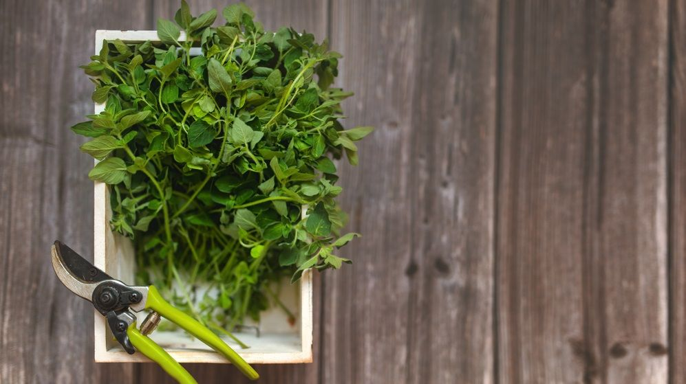 harvested oregano in a wooden box with garden scissors