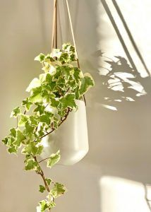 Growing plants in water: English Ivy