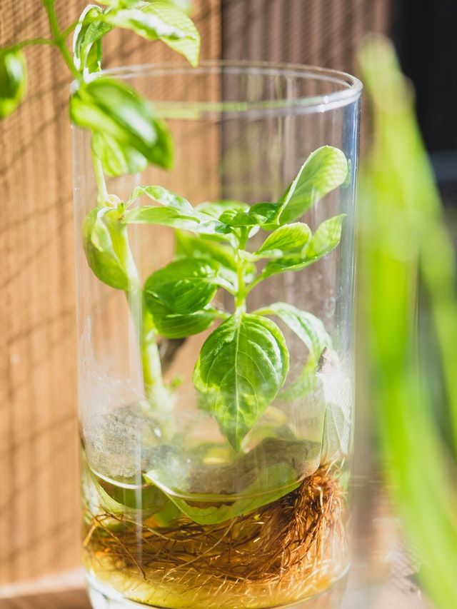A plant growing in water inside a glass vase